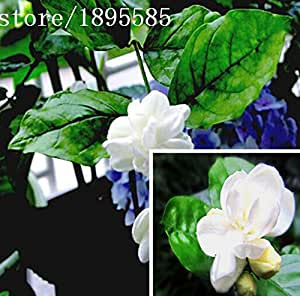 Perennial flower seeds potted white jasmine fragrant jasmine seed colorful full of really Mirabilis seed 50 particles / bag