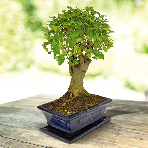 Bonsai Ligustrum nitida Broom 9 yr - 1 Tree