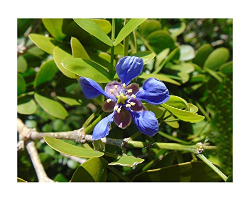Flowers Seeds Lignum Vitae Tree of Life Rare Organic Guaiacum Sanctum 10 - Tree Lignum Vitae