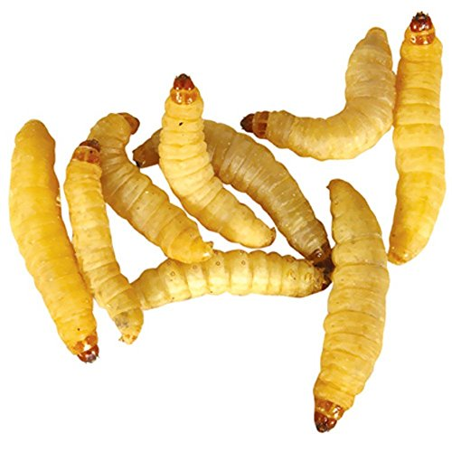 Timberline Wax Worms (500 count) by Timberline
