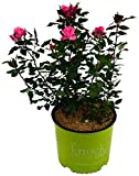 Knock Out Roses - Rosa Knock Out Pink (Rose) Rose, pink flowers, #2 - Size Container