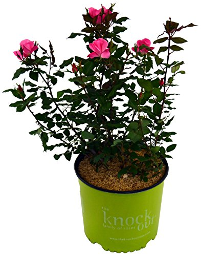 Knock Out Roses - Rosa Knock Out Pink (Rose) Rose, pink flowers, #2 - Size Container by Green Promise Farms (Image #3)