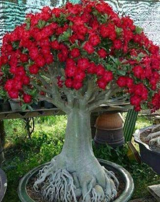 Caudex Bonsai - Desert Rose, small size Adenium Obesum - one year bare Rooted plant - new hybrid, new arrival, very-rare, limited quantities!! ()