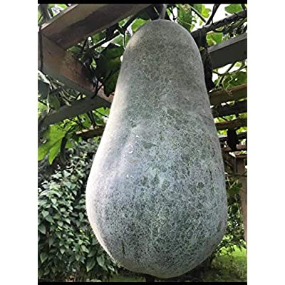 20+ Organic Gray Skin Bottle-Shape Winter Melon (CDK) Seeds; 40+ lbs Possible; 灰葫蘆型大冬瓜; Wax Gourd; Dong Gua : Garden & Outdoor