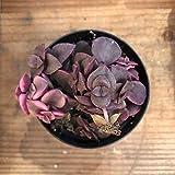 "2.5"" Calico Kitten - Crassula Marginalis Rubra Variegata - Live Succulent"
