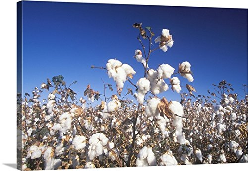 Canvas On Demand Premium Thick-Wrap Canvas Wall Art Print entitled Cotton field in Tucson, AZ 30