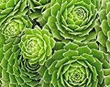 Jmbamboo - Hens & Chicks - Semperviven - 4'' Pot Great House Plant