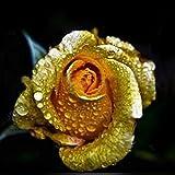 Wintefei 150Pcs/1 Pack Rare Golden Rose Flower Seeds Garden Yard Bonsai Home Decoration