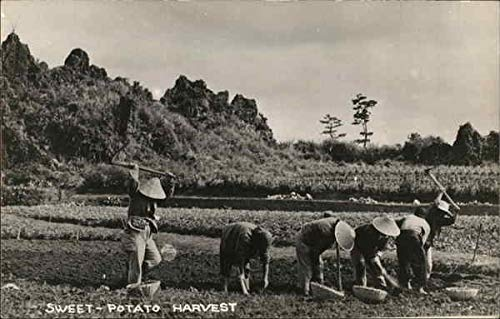 sweet potato harvest - workers in a field Farming Original Vintage Postcard