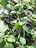 50 Seeds of Wonderberry/Sunberry - Solanum Burbankii