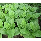 "Organic Tobacco Seeds""Burley"" (Nicotiana tabacum) Strong! Heirloom - 5000 Seeds"