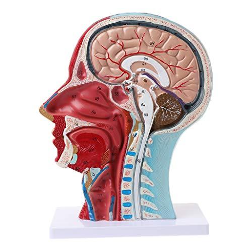 - Dinfoger Human Anatomical Half Head Face Anatomy Medical Brain Neck Median Section Study Model Nerve Blood Vessel for Teaching