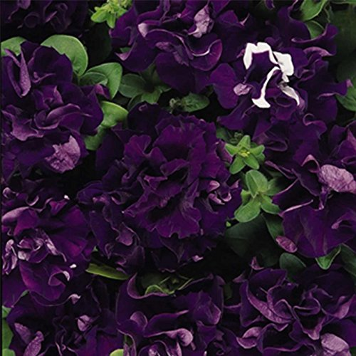 Petunia - Double Cascade Series Flower Garden Seed - 1000 Pelleted Seeds - Blue Blooms - Annual Flowers - Double Grandiflora by Mountain Valley Seed Company