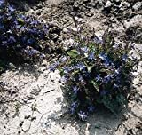 Campanula (Bellflower) poscharskyana 1,000 seeds