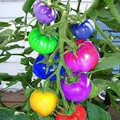 100 Pcs Rare Blue Tomato Bonsai Multi-Color Tomato Bonsai Cherry Tomatoes Tomato Bonsai in Bonsai Organic Fruits and Vegetables