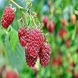 Latham Raspberry - 5 Golden Raspberry Plants - Everbearing - Organic Grown
