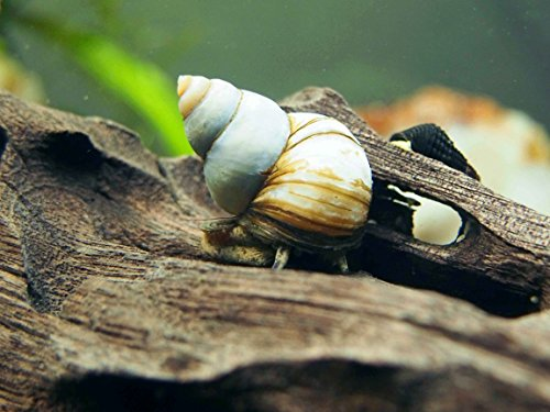 5 LARGE (1/2-2+ inches) Japanese Trapdoor Snails (Viviparus malleattus) - Live Snails by Aquatic Arts (Pond Formerly Fish)