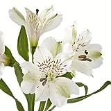 eFlowy - 160 White Alstroemerias - Peruvian Lilies Wholesale