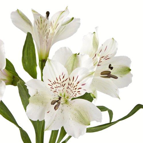 eFlowy - 160 White Alstroemerias - Peruvian Lilies Wholesale by eFlowy
