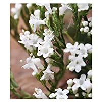 Valerian Seeds - Heirloom Herb - Believed to be a Medicinal Treatment of Insomnia, Migraine and Anxiety.