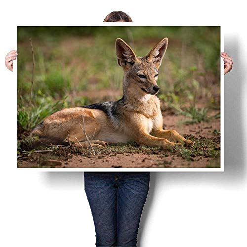 -Backed Jackal Lying in Sunshine on Grassland Decorative Fine Art Canvas Print Poster K 24