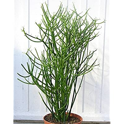 "Pencil Cactus Indian Tree Spurge (euphorbia tirucalli) 10 clips (approx 6-8"") : Garden & Outdoor"