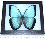 Bicbugs, LLC Real Framed Butterfly Blue Morpho PELEIDES Peru