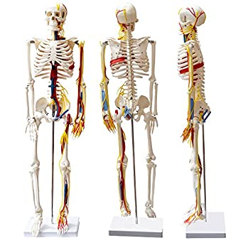 Amazon.com: Modelo de esqueleto humano con corazón de barcos ...