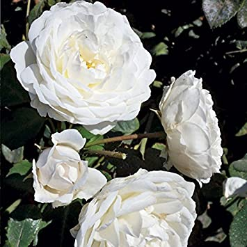 Amazon cloud 10 rose bush reblooming upright climbing rose cloud 10 rose bush reblooming upright climbing rose grown organic 4quot potted large 60 mightylinksfo