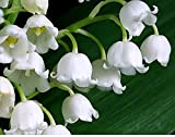 20 Large, Plump Lily of The Valley Bare Root Plant Pips Fresh from Holland - Blooms in May