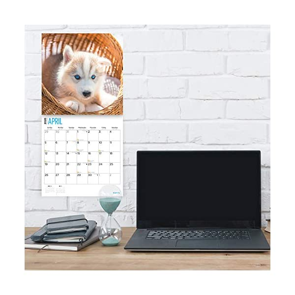 2020 Siberian Husky Puppies Wall Calendar by Bright Day, 16 Month 12 x 12 Inch, Cute Dogs Puppy Animals Chukcha Canine 3