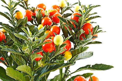 Ashwagandha Seeds by Kraft Seeds