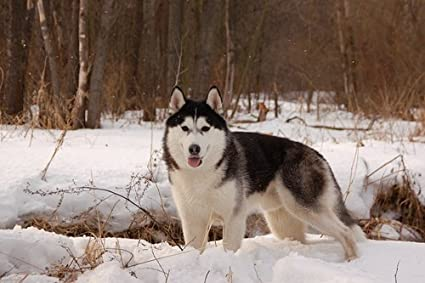 Amazon Com Husky Dog Winter Snow Art Print On Canvas Wall Decor