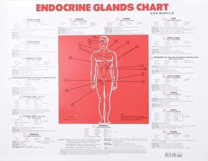 Amazon Endocrine Glands Chart Norman Walker Books Office