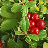 LIVE plant nutrient rich berries Vaccinium macrocarpon (cranberries) plant very cold hardy broadleaf evergreen (-39.9C (-40F))