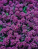 Alyssum Wonderland Deep Purple Nice Garden Flower by Seed Kingdom Bulk 3,000 Seeds