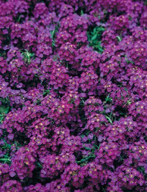 Alyssum Wonderland Deep Purple Nice Garden Flower by Seed Kingdom Bulk 3,000 Seeds by seed kingdom