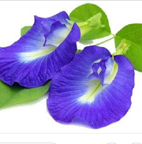 Blue pea flower Butterfly pea Flower 1000 seeds, 30 pcs thread by Is yourself (Image #3)