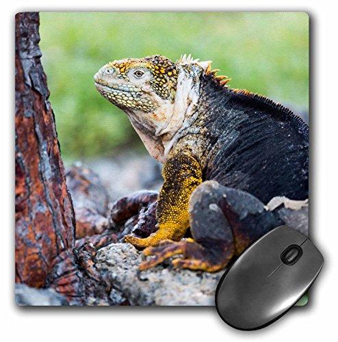 3dRose Danita Delimont - Reptiles - Ecuador, Galapagos Islands, Plaza Sur, Male land iguana. - MousePad - Plaza Las Images Americas