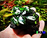 (6 Pack) Anubias Nana Petite on Nano Driftwood Freshwater Live Aquarium Plants Decorations by Mainam