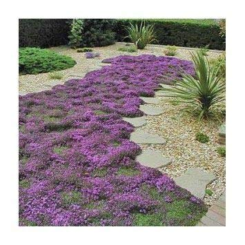 Thyme Mother of (Creeping) 5,000 Seeds (Cover Seeds Ground)