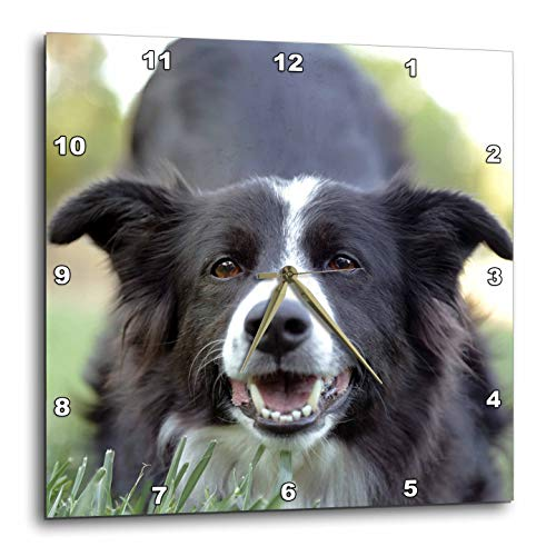 3dRose Stamp City - Animals - Photograph of a Border Collie with her Eyes on The Photographer. - 15x15 Wall Clock (DPP_312215_3)