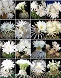 Discocactus variety MIX semi exotic perfume fragance cacti - Best Reviews Guide