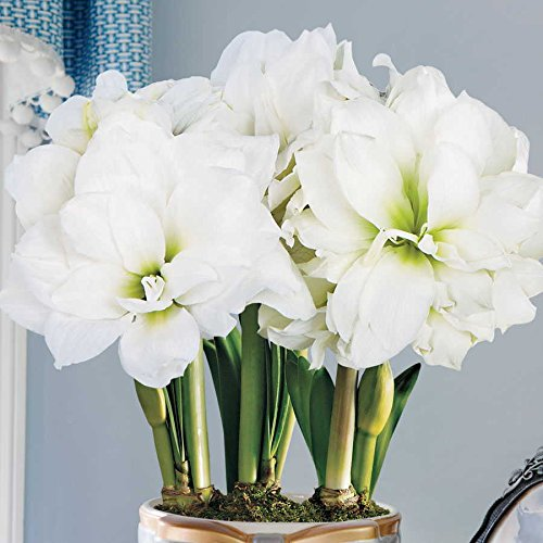 Amaryllis Double White 'Marquis' 26/28cm bulb Christmas flowering
