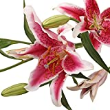 Farm Fresh Natural Hot Pink Oriental Lilies - 40 Stems