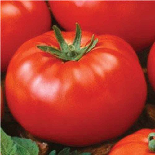 Tomato, Ace 55 tomato seeds, 50 seed pack ,ORGANIC, NON-GMO, USA PRODUCT. PACKED BY JACOBS LADDER ENT.