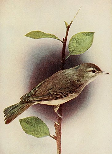 Posterazzi Bird Neighbors 1904 Warbling Vireo Poster Print by Henry C. Denslow (24 x 36)