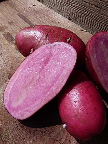 - SEED POTATOES - 1 lb. All Red * Organic Grown * Non GMO * Virus & Chemical Free * Ready for Spring Planting *