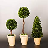 Real Preserved Boxwood Evergreen Globe Tree Topiary in Terracotta Planter Green Plant for Home Decor