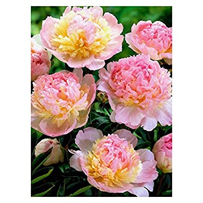 Raspberry Sunday Peony/Peonies - 3-5 Eyes - Heavy Potted - Perennial - Each 1 Gal by Growers Solution